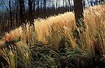 Blue Mountain burn area. Autumn grasses in sunlight