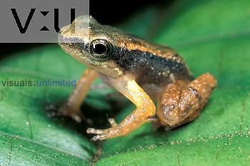 Rocket Frog (Colostethus marchesianus). Asa Wright Nature Center rainforest, Trinidad.