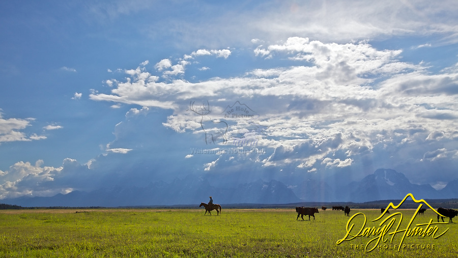 Cowboy,  Grand Tetons, clearing storm, light beams. My photos are not to be used for anti public land ranching interests. The cowboys of the west are under assault because many don't like to see their cows on public land. I have written a couple of articles articulating the problem.