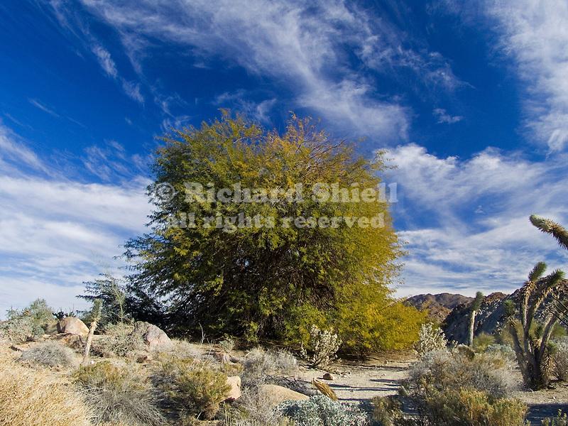 Velvet mesquite, Prosopis velutina, mature specimen in desert landscape
