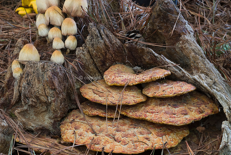 Polyporus squamosus, Bracket Fungi, saprophyte mushroom that causes white rot in trees, growing on tree bark