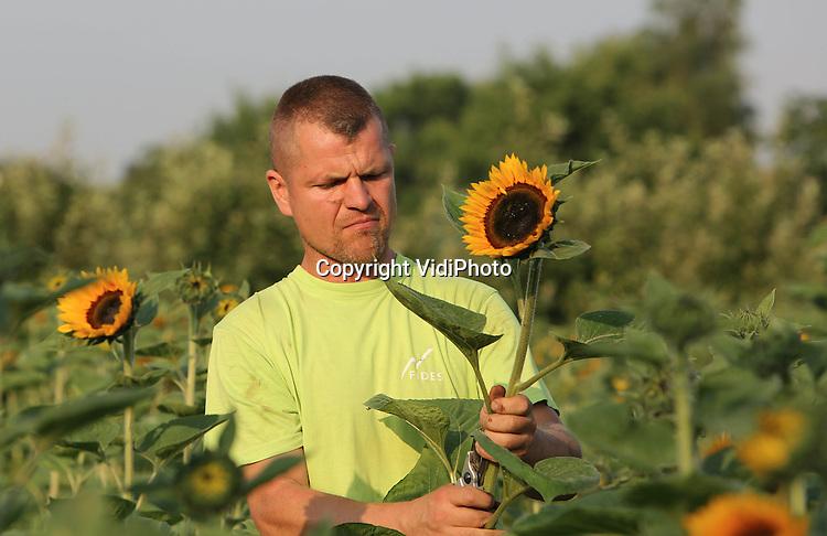Foto: VidiPhoto<br /> <br /> HAALDEREN - Bloemenkweker John Janssen uit Haalderen oogst dinsdagmorgen zonnebloemen. De zonnebloemen zijn met name bedoeld voor de huisverkoop.