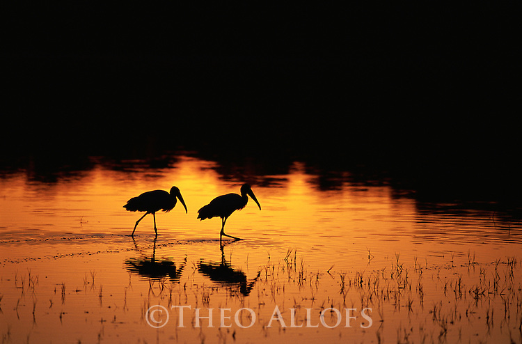 Wood Storks Walking Through Lake at Sunset; Pantanal, Brazil