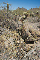 Nest of white-throated woodrat, Neotoma albigula, made with branches of Jumping cholla, Cylindropuntia bigelovii. Saguaro National Park, Arizona