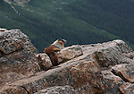 The hoary marmot resting on the rocks near Peyto Lake in Canada