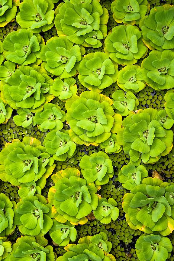 Water lettuce, Pistia straroites plants