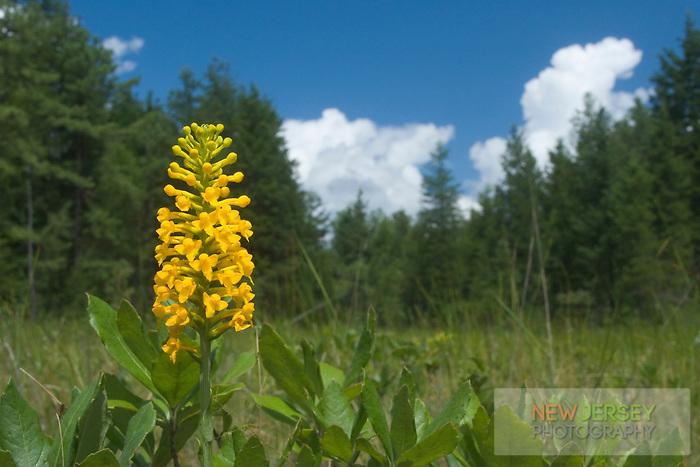 Southern Yellow Orchid, in bloom, Pine Barrens, New Jersey