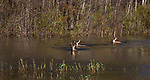 White-tailed deer swimming across a pond.