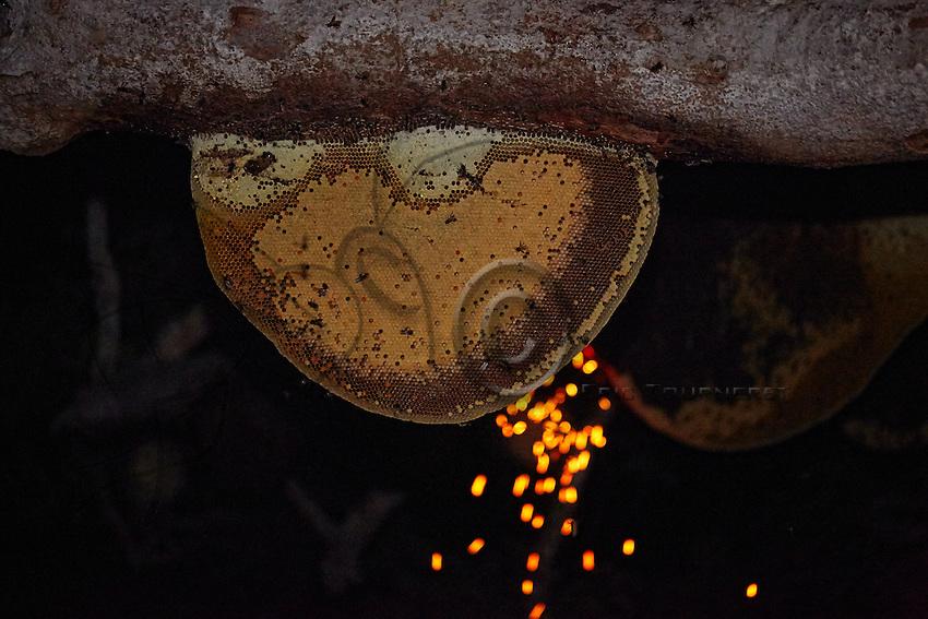 A nest of Apis dorsata. The white parts sticking to the branch hold the honey. The honeycomb also houses the brood and the pollen reserves. ///Un nid d'Apis dorsata. Les parties blanches collées à la branche contiennent le miel. La galette de cire comprend également le couvain et les réserves de pollen.