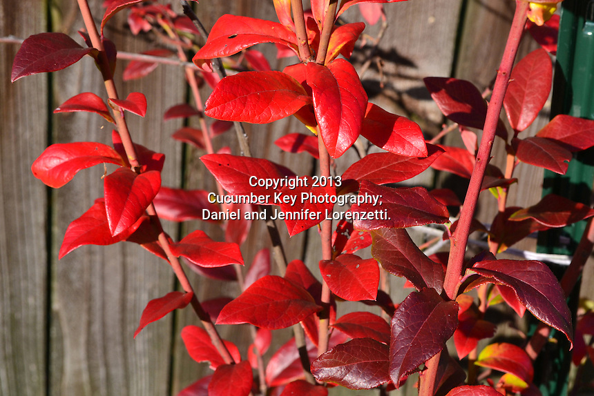 The foliage of a blueberry bush turns rich reds in fall.