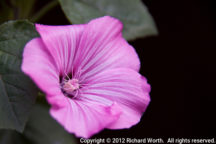 Pink flower with soft leaves and black copy space.