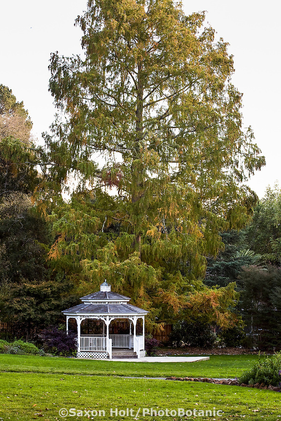 Metasequoia glyptostroboides, Dawn Redwood tree, by pergola autumn at Marin Art & Garden Center