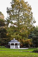 Metasequoia glyptostroboides, Dawn Redwood tree, by pergola autumn at Marin Art and Garden Center