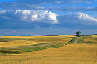 Country road with lone tree amid wheat fields in Williams County, North Dakota, AGPix_0703.