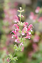 Salvia 'Christopher Fairweather', mid May.