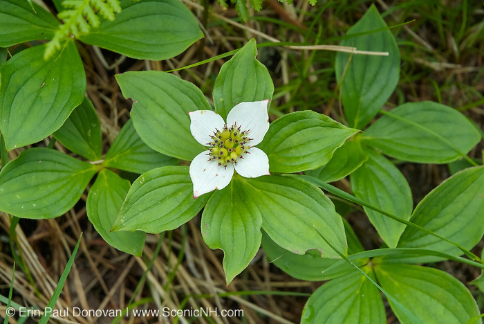 Bunchberry Dogwood -Cornus canadensis- during the early summer months on the side of Skookumchuck Trail in the White Mountains, New Hampshire  USA