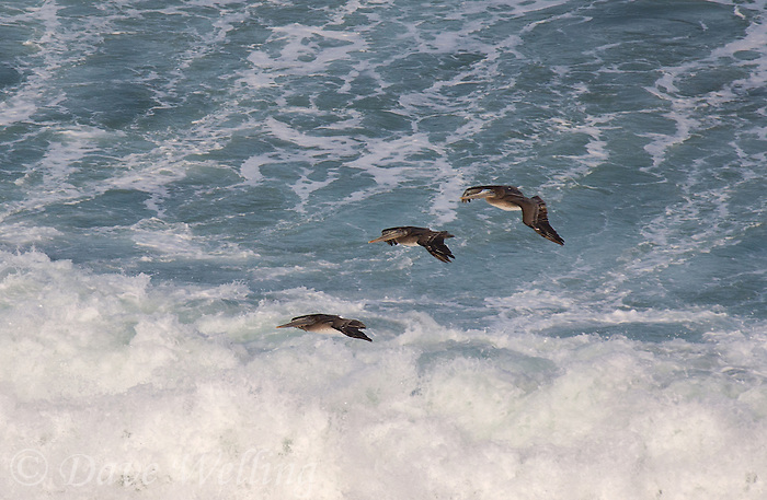 570000004 wild federally endangered brown pelicans pelecanus occidentalis soar over the breaking surf of the pacific ocean at torrey pines state preserve la jolla california
