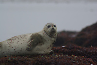 Harbor Seal on the California coast.