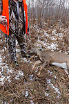 Preparing to field dress a Wisconsin white-tailed buck