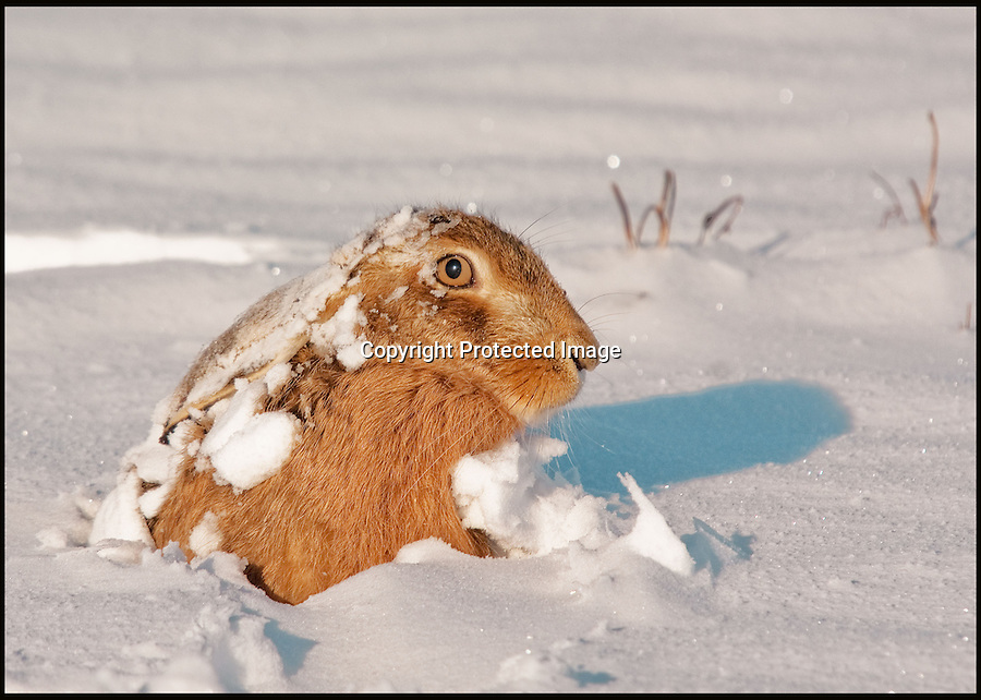 BNPS.co.uk (01202 558833)<br /> Pic: AdamTatlow/BNPS<br /> <br /> Hare peeps out of the snow.<br /> <br /> Cotswold gamekeeper shoots amazing pictures of British wildlife - without the aid of long lenses and elaborate techniques.<br /> <br /> The incredible photos may look like they have been shot from miles away - but amazingly Adam Tatlow is actually just feet away from his wild subjects.<br /> <br /> The 46-year-old's affinity with nature has allowed him to get up close and personal with some of the UK's most endearing wildlife.<br /> <br /> Adam's trusty camera is never far from his side as he goes about his work as a gamekeeper on an estate in the Cotswolds countryside.<br /> <br /> He has built up a stunning portfolio of snaps that lift the lid on rarely-seen birds and animals found in forests throughout the country.<br /> <br /> Adam's subjects have included timid fox cubs, bounding hares, inquisitive hedgehogs and colourful kingfishers.<br /> <br /> He is so at one with nature that he knows how to call animals to him, and often gets within 30ft of them.