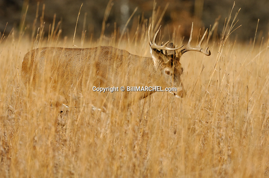 00274-316.05 White-tailed Deer Buck (DIGITAL) with 10 point antlers is walking in big bluestem during fall.  Hunting, prairie.  H7R1