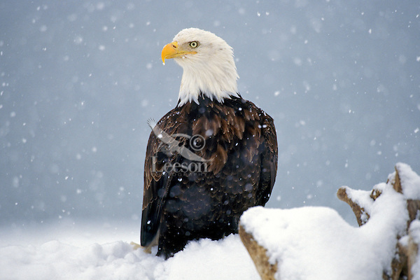 Bald Eagle (Haliaeetus leucocephalus) in winter snow.