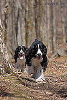 0720-1002  English Springer Spaniels Hiking on Mount Rogers Trail in Southwest Virginia, Canis lupus familiaris  © David Kuhn/Dwight Kuhn Photography