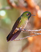 Male tyrian metaltail