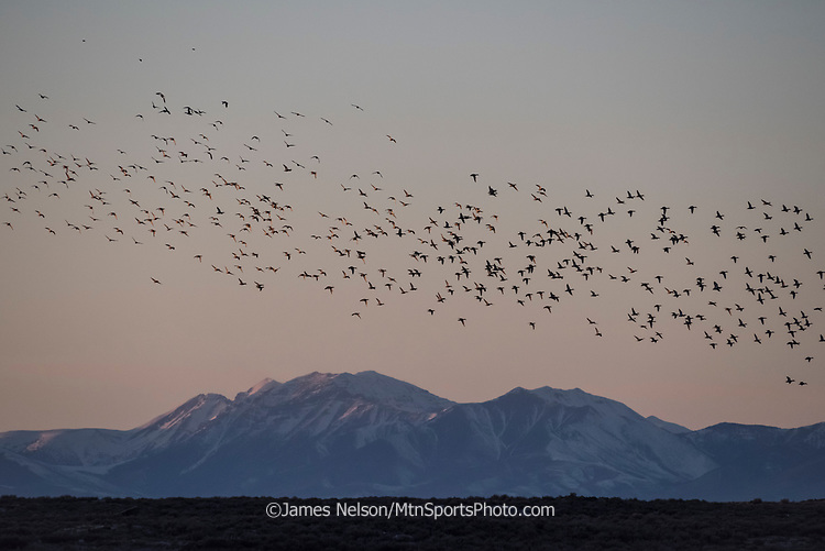 A large flock of ducks (mostly mallards with a few pintails) flies above mountains in eastern Idaho.