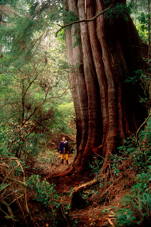Old-growth Western Red Cedar tree dwarfs human, Thuja plicata, Meares Island, Clayoquot Sound, west coast of  Vancouver Island, British Columbia, Canada,