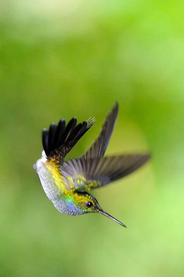 Amazalia Pechiazul / colibr&iacute;es de Panam&aacute;.<br /> <br /> Blue-chested Hummingbird / hummingbirds of Panama.<br /> <br /> Amazalia amabilis.<br /> <br /> EDICI&Oacute;N LIMITADA / LIMITED EDITION (25)