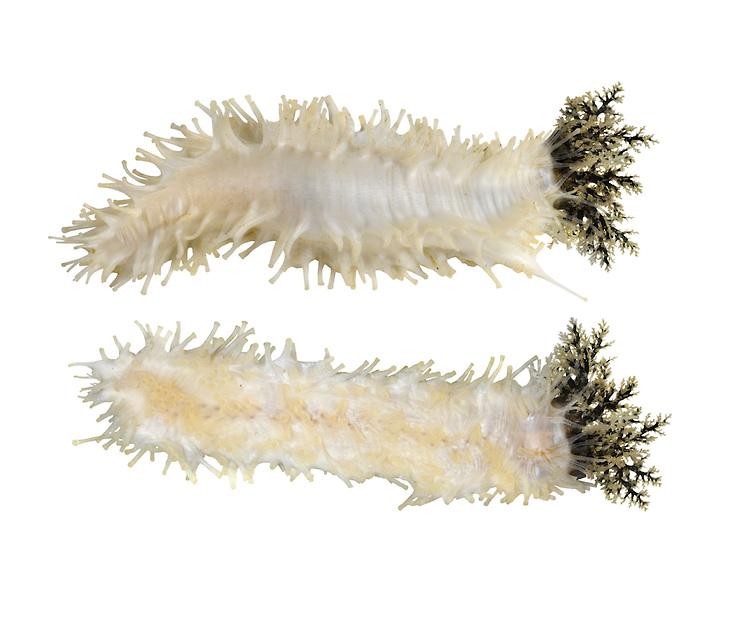 Sea Gherkin - Pawsonia saxicola