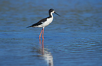 Hawaiian Stilt, Himantopus mexicanus knudseni, adult, Hanalei Bay, Kauai, Hawaii, USA