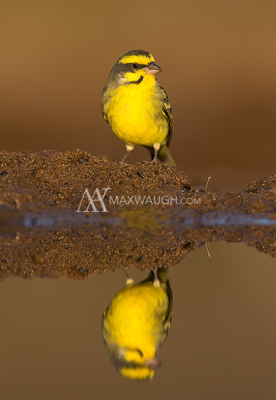 The Yellow-fronted canary was another species to arrive at Zimanga's watering holes.