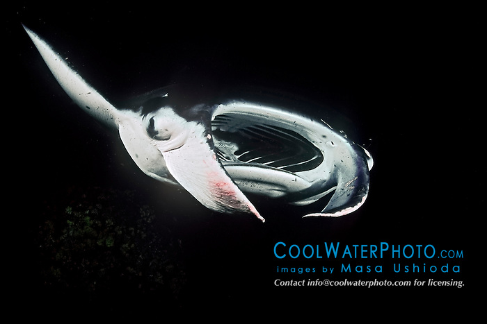 reef manta ray or coastal manta, Manta alfredi, feeding on plankton at night, Kona Coast, Big Island, Hawaii, USA, Pacific Ocean