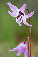 Henderson's fawn lily (Erythronium hendersonii).  Native to southwestern Oregon, and northern California in early spring.