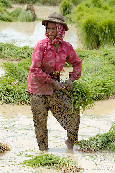 Agriculture, especially rice, remains at the heart of Cambodia's economy and culture. Here a woman ties together rice plants she has harvested for transplant into a rice paddy.