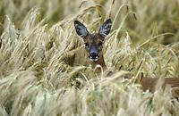Europäisches Reh, Rehwild, Reh-Wild, Weibchen, Ricke, Capreolus capreolus, roe deer