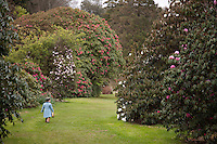 A tiny laird walks down Rhododendron walk