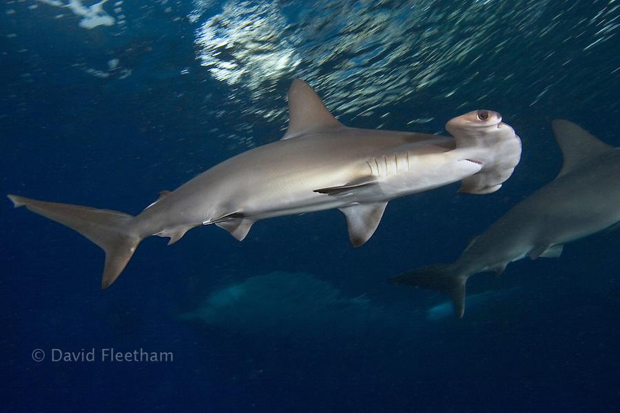Scalloped hammerhead shark, Sphyrna lewini, Hawaii.