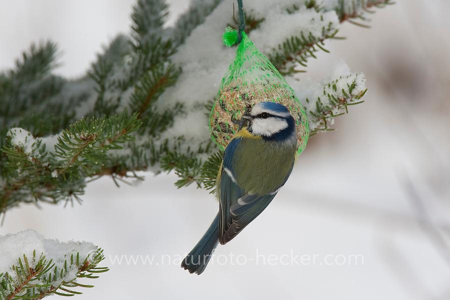 Blaumeise, an der Vogelfütterung, Fütterung im Winter bei Schnee, am Meisenknödel, Fettfutter, Winterfütterung, Blau-Meise, Meise, Cyanistes caeruleus, Parus caeruleus, blue tit