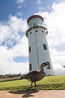 The lighthouse at Kilauea Point National Wildlife Refuge, with a Hawaiian Nene goose in foreground, northern Kaua'i.