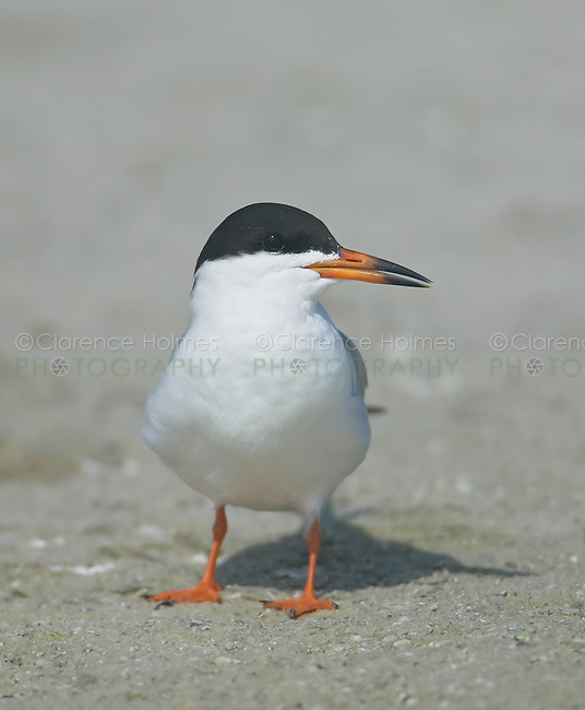 Forster's Tern (Sterna forsteri) standing on a beach looking to the right