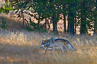 Wild Gray Wolf (Canis lupus) stalking through fall color grass.  Yellowstone National Park.