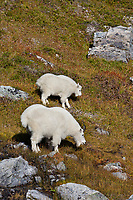 Mountain goat nanny and kid, Kenai Fjords National Park, Kenai mountains, Kenai Peninsula, southcentral, Alaska.
