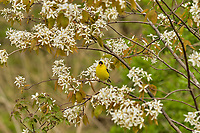 Male American Goldfinch (Spinus tristis) in blooming serviceberry bush.  Great Lakes Region.  May.