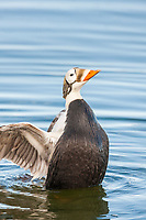Male spectacled eider ducks swim in a tundra pond on Alaska's arctic north slope.
