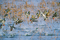 Ducks, mostly mallards, lifting off at Squaw Creek NWR, Missouri, Fall.