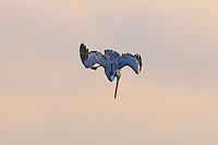 Brown Pelican in vertical dive