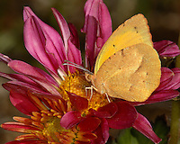 """Small """"dainty"""" sulphur butterfly with a wingspan of 3/4 - 1 1/4 inches (2 - 3.2 cm)."""